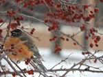Winter Robin