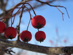 Berries in Winter by Emiiy Sulka