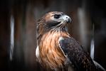 Hawk by Wesley Williams