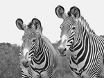 Mother Zebra and Child