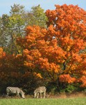 Zebras in Autumn by Julianna H. Ruckersfeldt