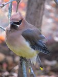 Cedar Waxwing by Julianna H. Ruckersfeldt