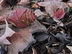 Autumn Rose by Alicia R. Williams